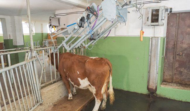Der Speed Fix ist in der Parkpositon nach oben aufgehängt, die Kuh sperrt sich alleine und stressfrei im gewohntem Fressgitter ein
